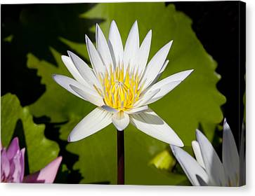 White Lotus Canvas Print by Kelley King