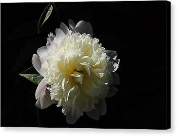 White On Black Peony Canvas Print