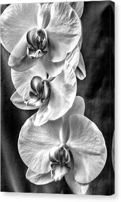White Orchids Canvas Print by Naman Imagery