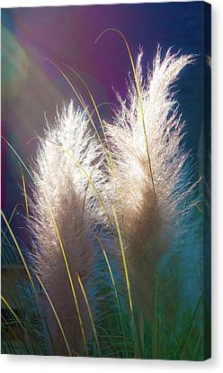 White Pampas Grass Canvas Print by Richard Marquardt