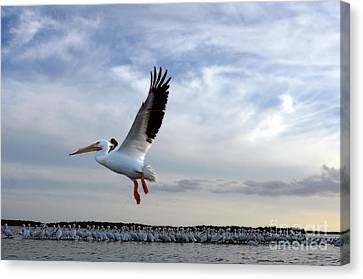 Canvas Print featuring the photograph White Pelican Flying Over Island by Dan Friend