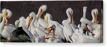 Cabin Window Canvas Print - White Pelican Gossip by Robert Frederick