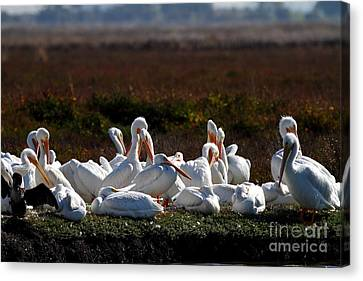 White Pelicans Canvas Print by Wingsdomain Art and Photography