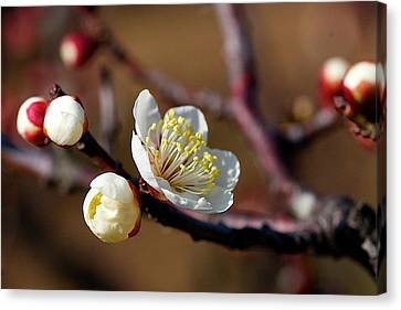 White Plum Blossoms Canvas Print by Jim Mayes