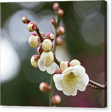 White Plum Blossoms Canvas Print