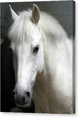 White Pony Canvas Print by Sally Crossthwaite