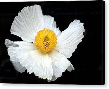 White Poppy On Black Canvas Print
