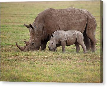 White Rhinocero Grazing Side By Side Canvas Print