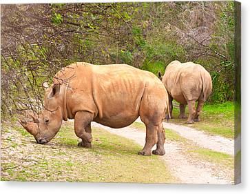 Large Mammals Canvas Print - White Rhinoceros by Tom Gowanlock