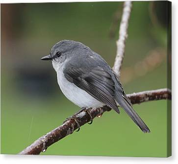 Canvas Print featuring the photograph White Robin by Serene Maisey