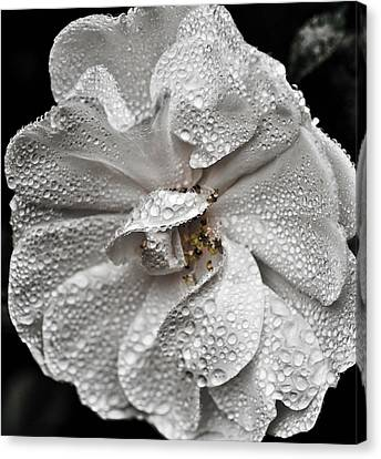 Canvas Print featuring the photograph White Rose After Rain by Ronda Broatch
