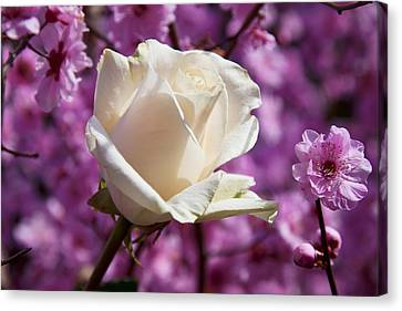 White Rose And Plum Blossoms Canvas Print by Garry Gay