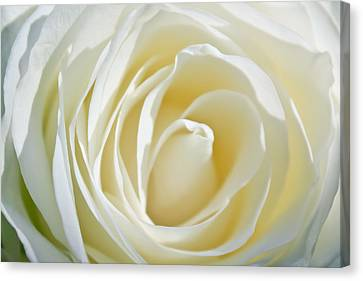 White Rose Canvas Print by Ann Murphy
