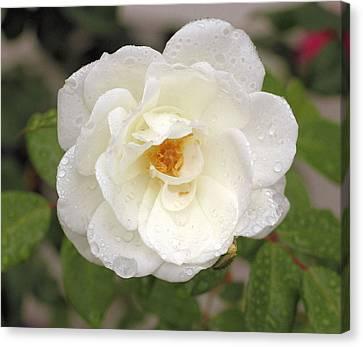 White Rose Canvas Print by Judith Szantyr