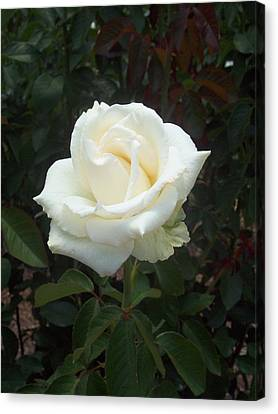 White Rose Canvas Print by Lisa Williams