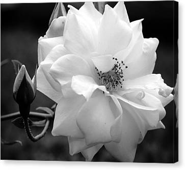 Canvas Print featuring the photograph White Rose by Michelle Joseph-Long