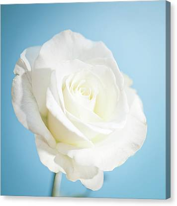 Cheshire Canvas Print - White Rose by Peter Chadwick LRPS