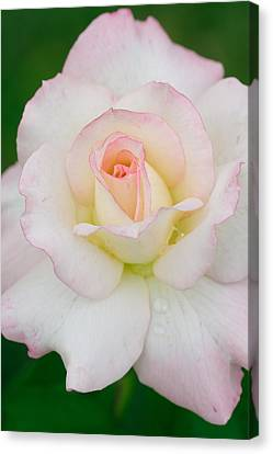 White Rose With Pink Edge Canvas Print by Atiketta Sangasaeng