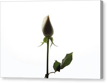 White Rose With Shadow Canvas Print by Zafer GUDER