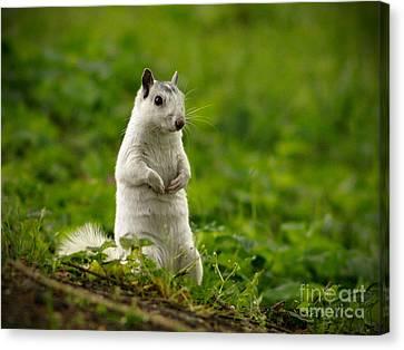 White Squirrel Canvas Print by JK York
