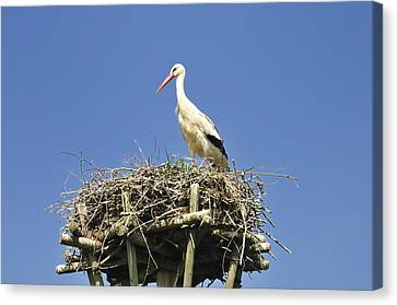 The Hatchery Canvas Print - White Stork Ciconia Ciconia by Matthias Hauser