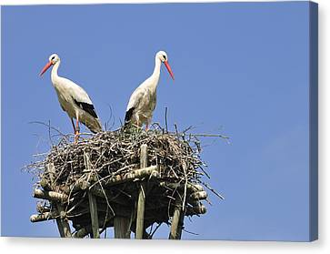The Hatchery Canvas Print - White Storks In Their Nest by Matthias Hauser