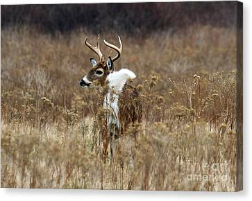 White Tail Canvas Print by Butch Lombardi