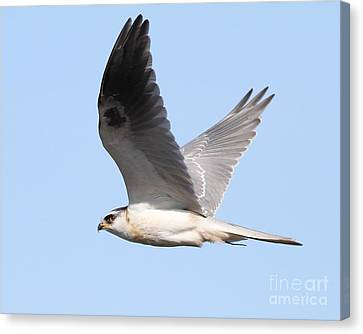 White-tailed Kite Hawk In Flight . 7d11109 Canvas Print by Wingsdomain Art and Photography