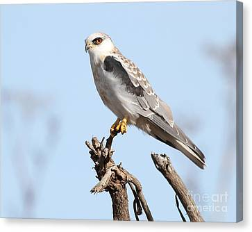 White-tailed Kite Hawk Perched . 7d11090 Canvas Print by Wingsdomain Art and Photography