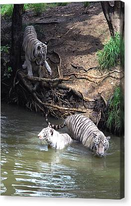 White Tigers In Water Pond Canvas Print by Johnson Moya