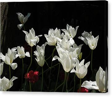 White Tulips On Black Canvas Print