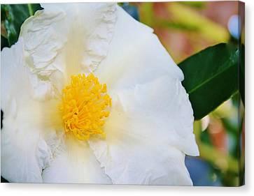 White W Yellow Center Flower Canvas Print