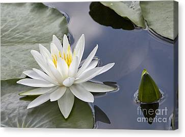 White Water Lily Canvas Print by Vladimir Sidoropolev