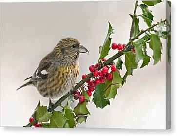 White-winged Crossbill On Holly Branch Canvas Print by Jean A Chang