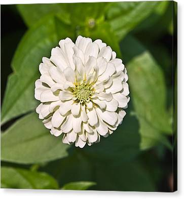 Canvas Print featuring the photograph White Zinnia And Green Leaves by Susan Leggett