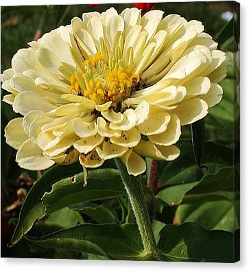White Zinnia Canvas Print by Bruce Bley