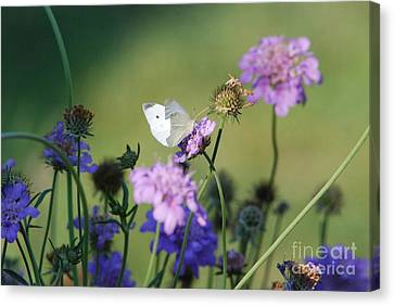 Butterfly Blue Pincushion Flower Canvas Print - Whites Butterfly by David Murray