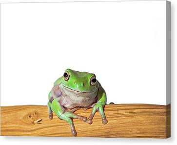 Whites Tree Frog Canvas Print by Www.tommaddick.co.uk