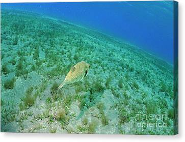Whitespotted Pufferfish Canvas Print by Sami Sarkis