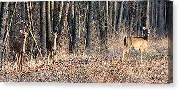 Canvas Print featuring the photograph Whitetail Alert by Mark J Seefeldt