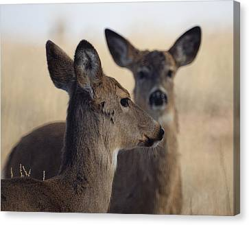 Whitetail Deer Canvas Print by Ernie Echols