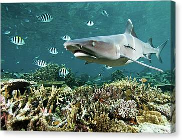Whitetip Shark Over Coral Reef Canvas Print by Alexander Safonov
