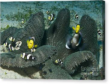 Whole Family Of Clownfish In Dark Grey Canvas Print by Mathieu Meur
