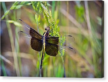 Widow Dragonfly Canvas Print by Barry Jones