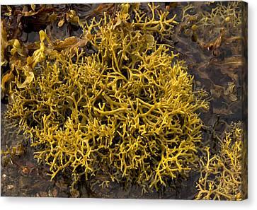 Wig-wrack Seaweed Canvas Print by Bob Gibbons