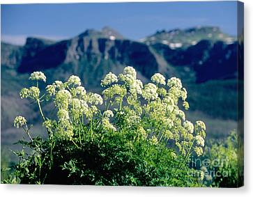 Wild Angelica Canvas Print by James Steinberg and Photo Researchers