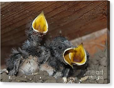 Wild Animals Baby Birds Www.pictat.ro Canvas Print by Preda Bianca Angelica