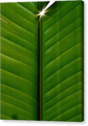 Canvas Print featuring the photograph Wild Banana Leaf by Werner Lehmann