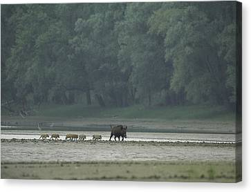 Wild Boar And Her Piglets Running Canvas Print by Klaus Nigge