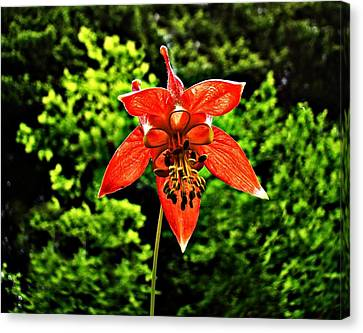 Canvas Print featuring the photograph Wild Columbine Singlet by Nick Kloepping